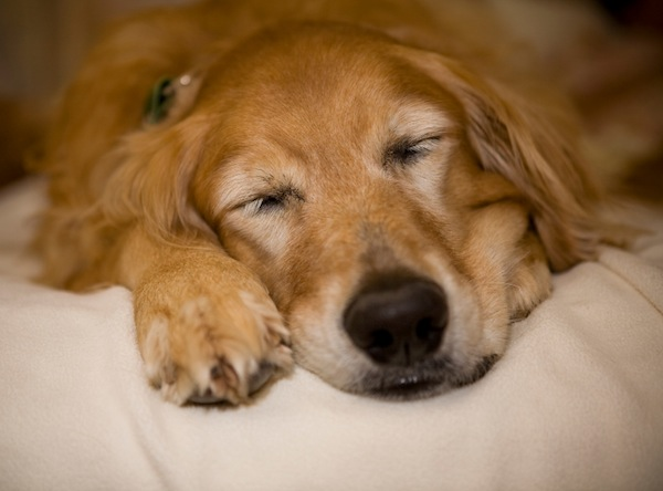 sleeping-golden-600